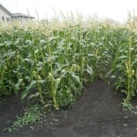 トウモロコシ畑の3割収穫終了