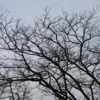 ハリエンジュ(針槐)の木