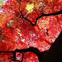 紅葉 (花 4126)