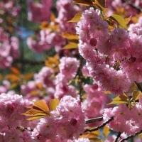 兼六園と楊貴妃桜