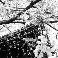 ぶら~り  桜・散歩~~♪