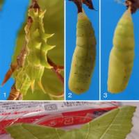 クロスジアオシャクの幼虫と蛹