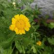 団塊オヤジの日記・・( ~ 畑に咲く野菜の花・・ ~ )