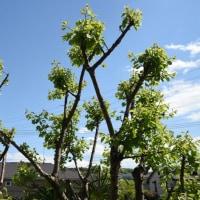 4月23日、朝のウォーキングと、杏の木