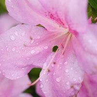 5/25 雨のツツジ