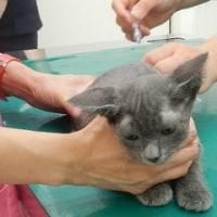 子猫3匹のワクチン済ませました