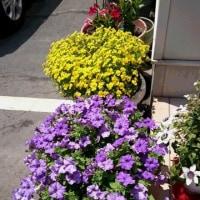 駐車場のお花がいっぱい咲きました
