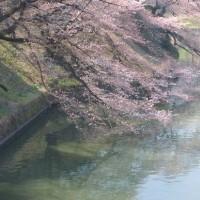 見頃前だった桜を見に田安門付近から千鳥ヶ淵へ (1)