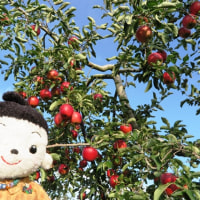 リンゴ狩りに行ってきました