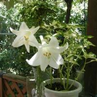 ユリの花(カサブランカ)
