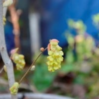 匂い土佐ミヅキの花 3.29