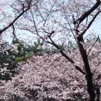三渓園の満開の桜 2017・・・