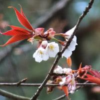 本日の京都御苑糸桜開花遅れる。ヤマザクラ開花