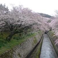 4/9 三井寺の桜
