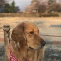 松本城も7分咲!