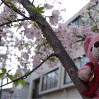 サクラちゃん de お花見桜