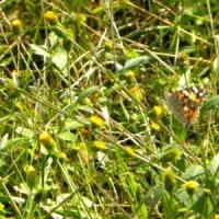 コセンダングサの花にヒメアカタテハ