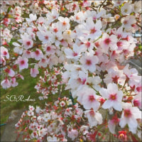 2017 今年も桜を見に行く