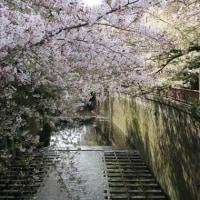 相模川と目黒川の桜