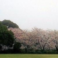 ダムの桜も散りはじめたから巻き物を