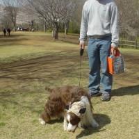 サクラ咲く公園を散歩したい