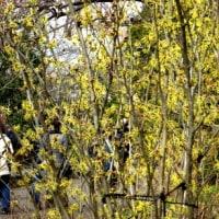 メモ帳707ページ目 シナマンサクの花が満開になりました