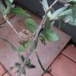 オリーブにハマキムシと小さな巣