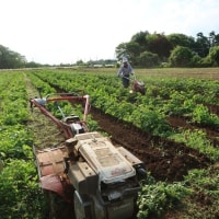 ●5/28 大久保農園報告 6月3、4日アイポイントジャガイモ交換・販売