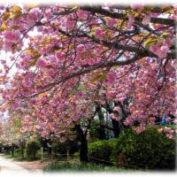 北摂の遅咲きの桜だより(^^♪元茨木川緑地の今見頃のサクラは「関山はじめ普賢象、や鬱金、御衣黄」