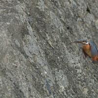 カワセミの巣立ち雛