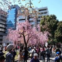上野公園のお花見、今週末は?@恩師上野公園