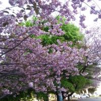 道庁前の桜が満開