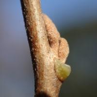 広見公園の自然:エゴノキの冬芽2つある上の物は仮芽ですが、下の主芽がダメになった時には