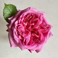 バラが咲いた・・・♪
