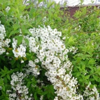 廻るもの 季節の花 - 雪柳