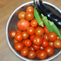 トマトの収穫がまだまだ続く。