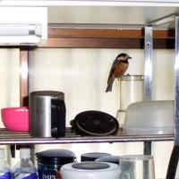先月末に、ウチに迷いこんできた鳥