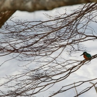 野鳥観察 カワセミ