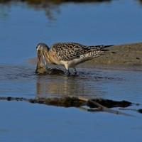 オオソリハシシギが採餌したときに出来た水滴、水飛沫