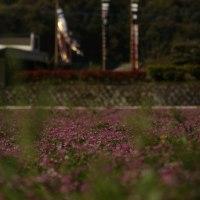 蓮華草と鯉のぼり