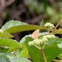 ヤブガラシの花の上にアカシジミ