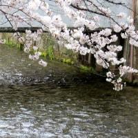 円山公園・知恩院から白川へ