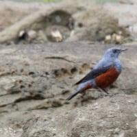 3/28探鳥記録写真(狩尾岬の鳥たち:ホウロクシギ、ウミアイサ、コチドリ他)