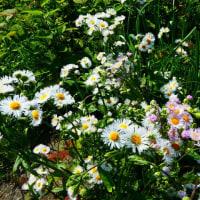 『季節の花』 野菊
