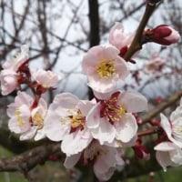 梅は咲いたよ桜はこんな感じ