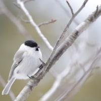 カラ・カラ・カラ…ガラ系野鳥の三種盛り