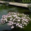 ペチュニア 4     長持ちする花