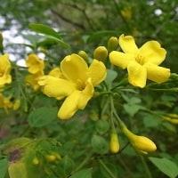 季節の花「黄素馨 (きそけい)」
