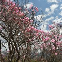 赤川浦岳_アケボノツツジ ~ 2017年4月25日 開花状況の速報です。