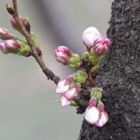 今年一番乗りの桜開花